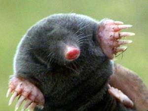 A mole. Look at those fingers.